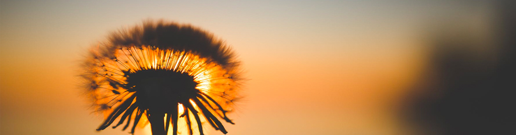 A dandelion blocks a sunset.
